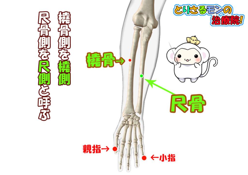 橈側尺側の説明