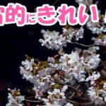 野川桜2019